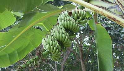 Tecnología de Musáceas (plátanos)